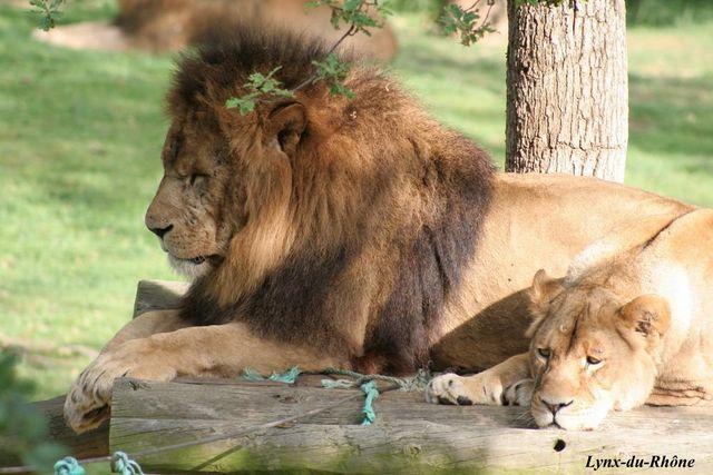 LION - panthera leo Img_4410