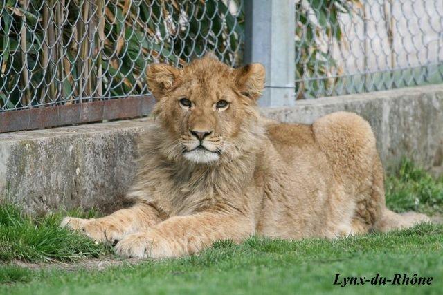 LION - panthera leo Img_8010