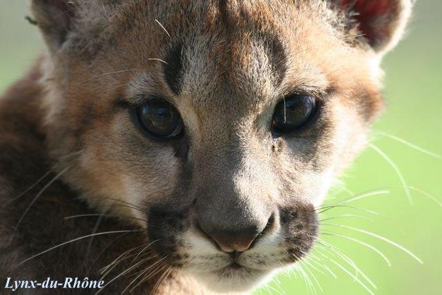 PUMA - Puma concolor Img_8110