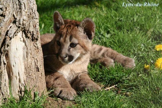 PUMA - Puma concolor Img_8111
