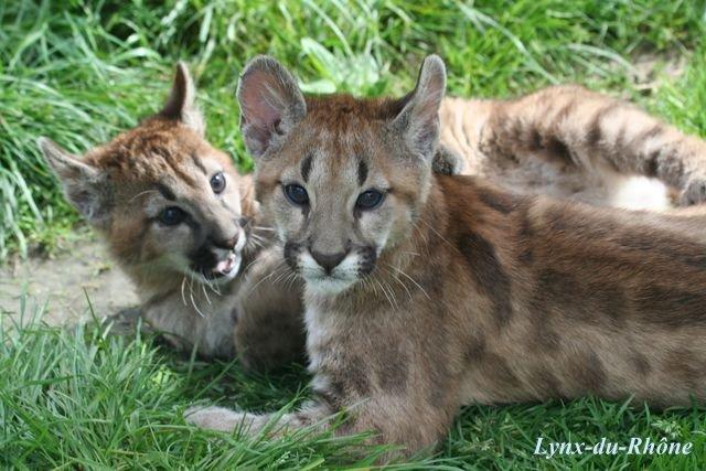 PUMA - Puma concolor Img_8112