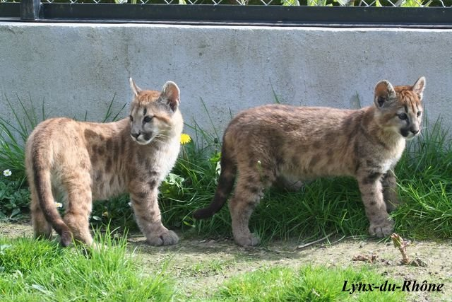 PUMA - Puma concolor Img_8115