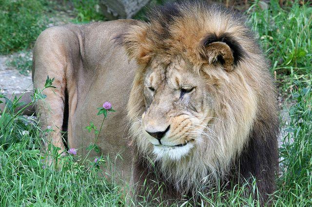 LION - panthera leo Img_9512
