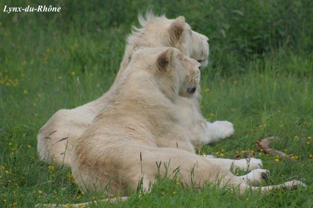 LION - panthera leo Lion_b10