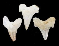 pierre de dent de requin fossil B_635010