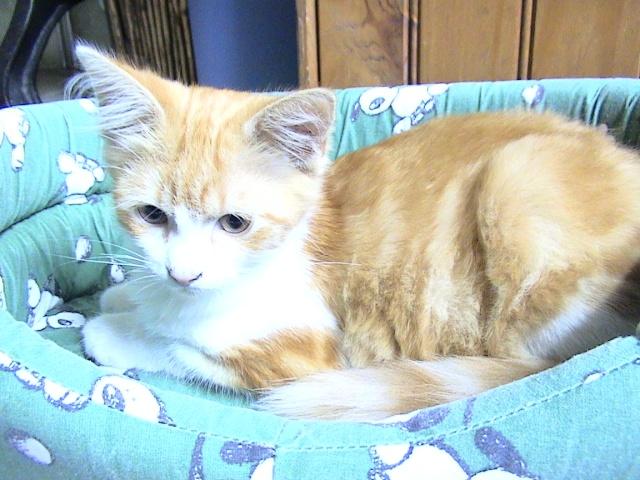 DOUAI 59 Trouvé chaton roux et blanc Lesmin21