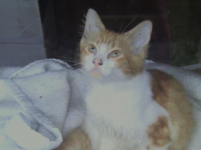 DOUAI 59 Trouvé chaton roux et blanc Roux_014