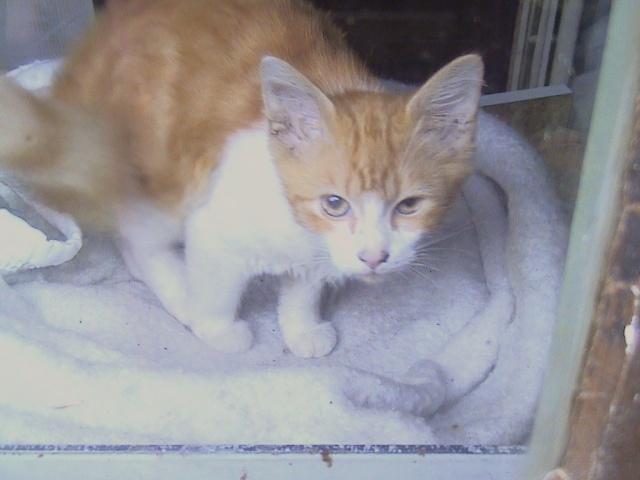 DOUAI 59 Trouvé chaton roux et blanc Roux_015