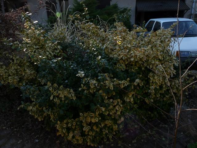 Rosier grandes fleurs blanc créme henri salvador P1120613