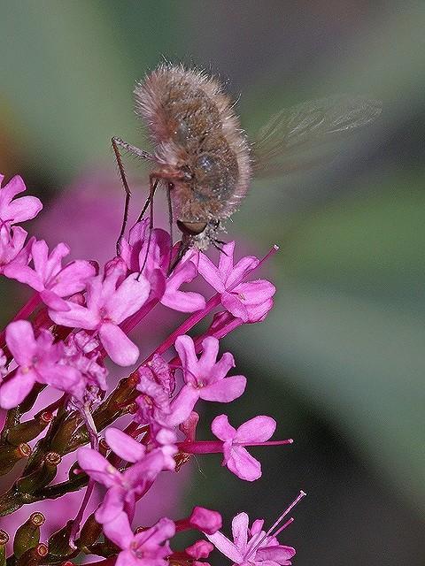 Insectes dans la Valériane 2008-328