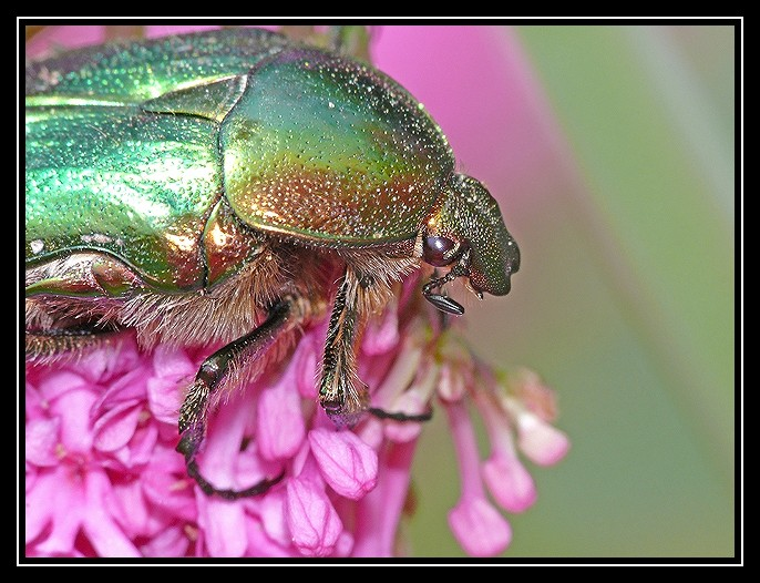 Insectes dans la Valériane 2008-331