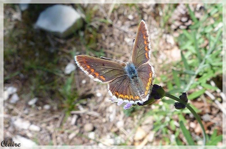 Je suis allée à la chasse aux papillons. Azura_12