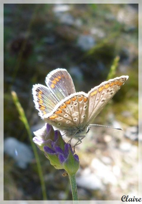 Je suis allée à la chasse aux papillons. Azura_13