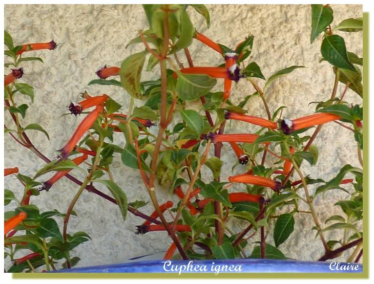Cuphea ignea  ,plante cigarette. Cuphea12