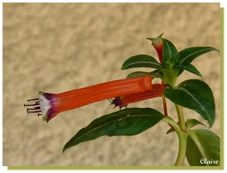 Cuphea ignea  ,plante cigarette. Cuphea13