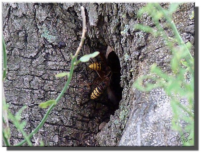 un nid de guèpes Frelon10