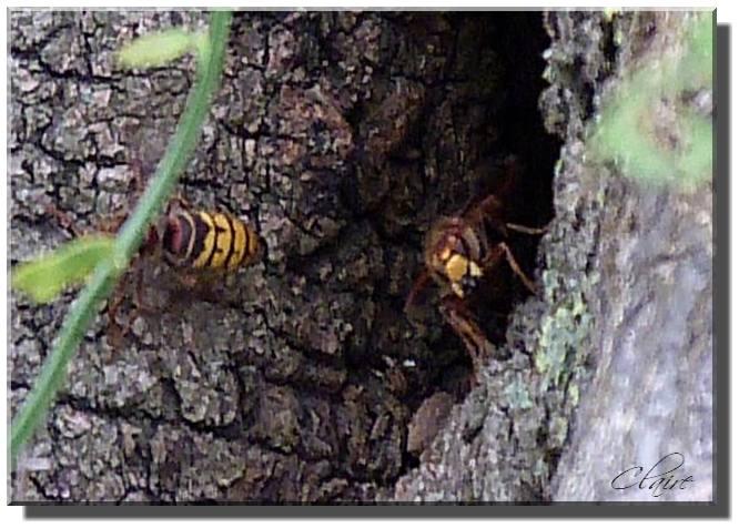 un nid de guèpes Frelon11