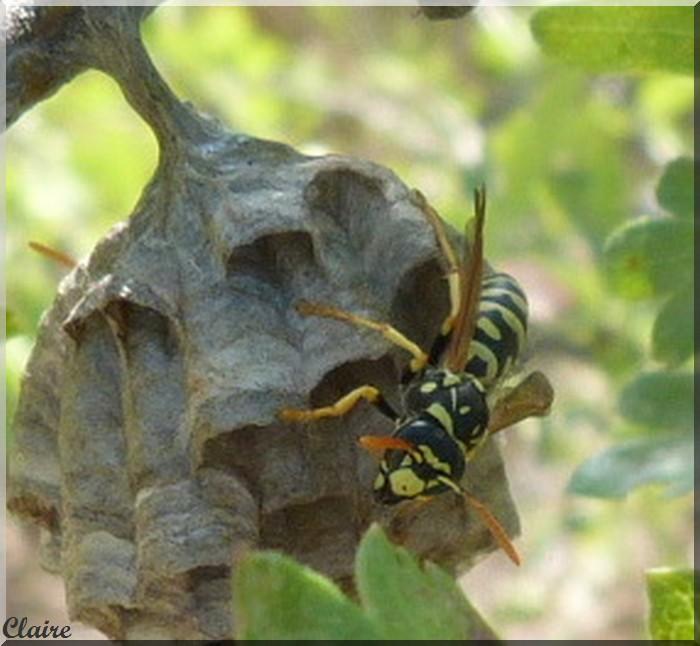 un nid de guèpes Guapes10