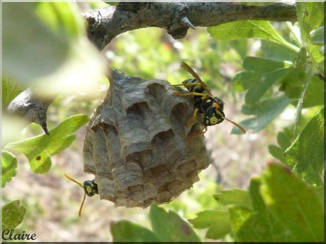 un nid de guèpes Nid_de10