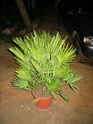 Chamaerops humilis Palmie10