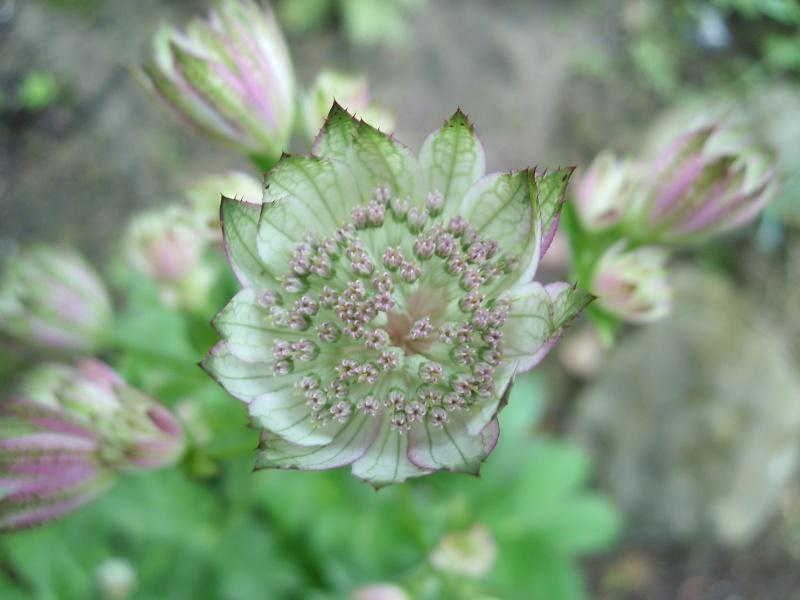 Les astrantia major entament leurs jolies floraisons! Astant10