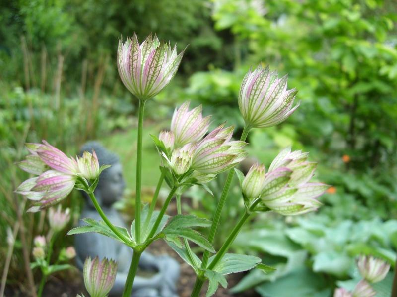 Les astrantia major entament leurs jolies floraisons! Astran10