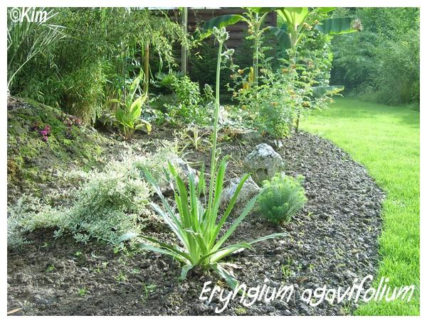 Eryngium agavifolium , appel à témoins! Eryngi10