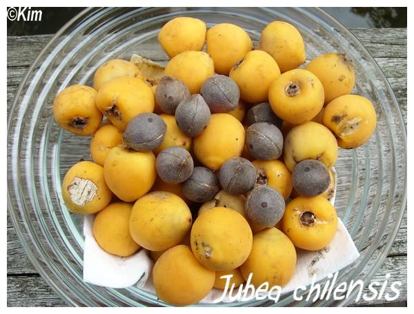 Jubea chilensis , cocotier du Chili Jubea_10