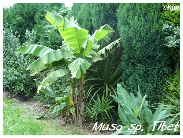 Visite d'un jardin privé. Musa_s10