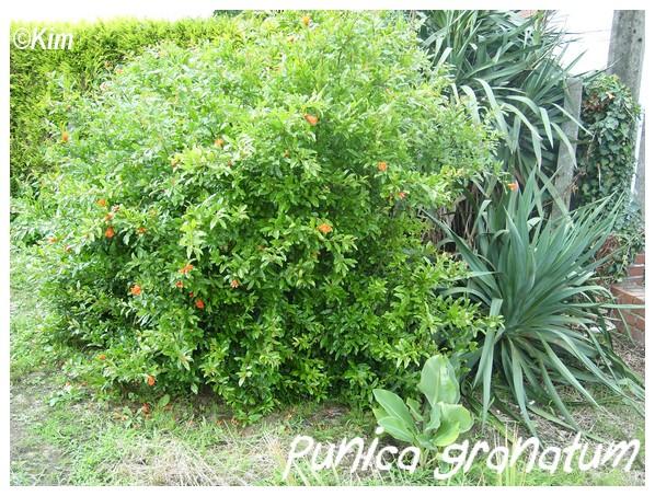 Visite d'un jardin privé. Punica10