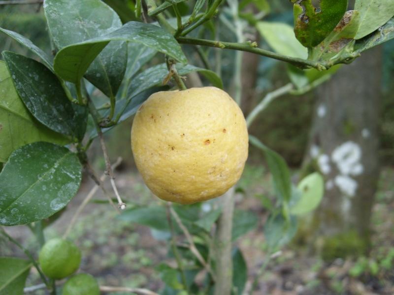 Quel est ce citronnier? Sl273517