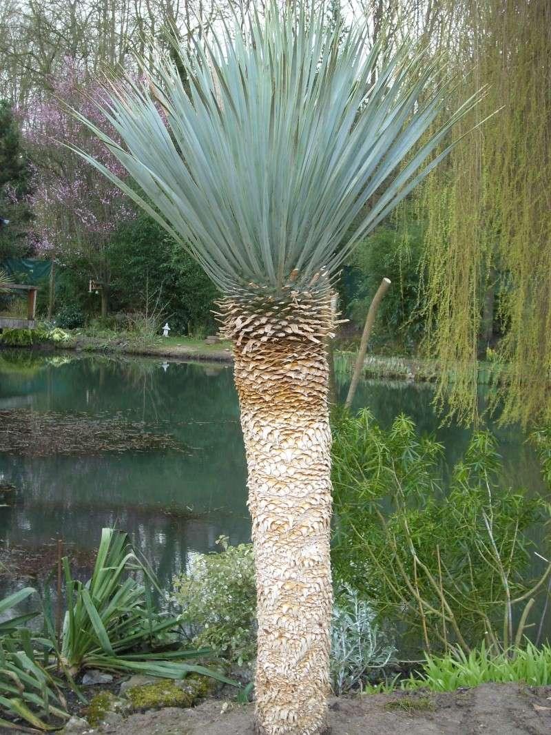 yucca rostrata, que je ne sais dans quelle catégorie mettre... Sl273520