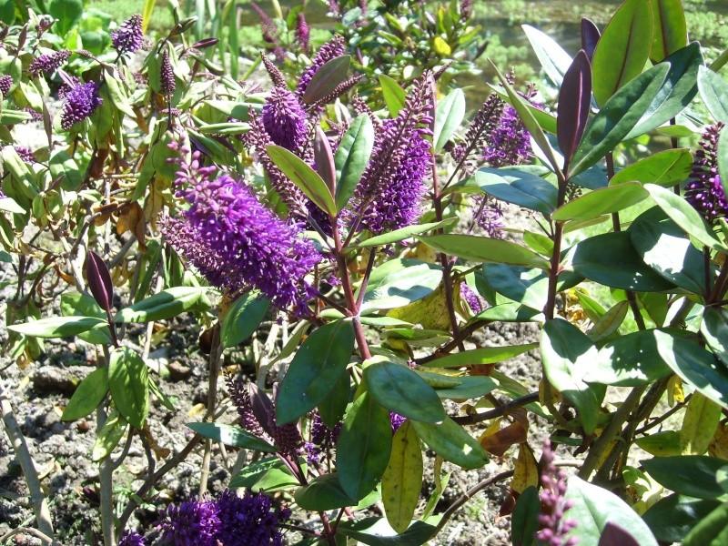 Identification buisson ( Identifié : Véronique arbustive ) Sl275514