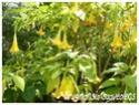 Brugmansia suaveolens ( Fiche ) Brugma13