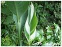 Canna indica ( Fiche ) Canna_14