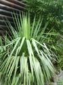 Espèces de yucca que vous cultivez Sl273524