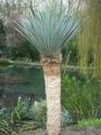 Espèces de yucca que vous cultivez Sl273525