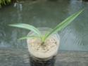 Espèces de yucca que vous cultivez Sl273616