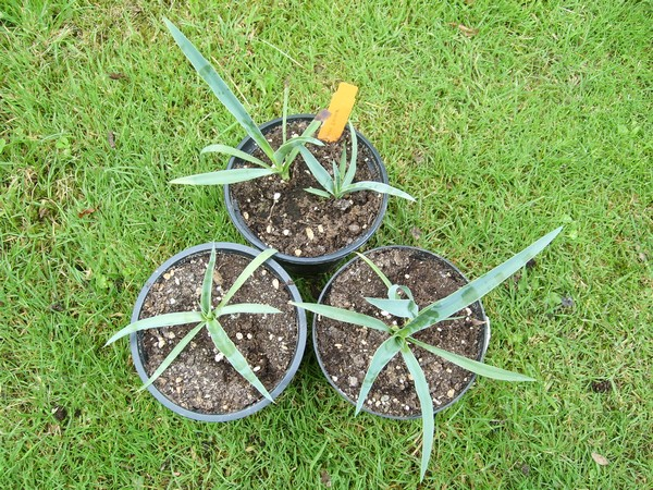 Semis de yucca Yucca_10