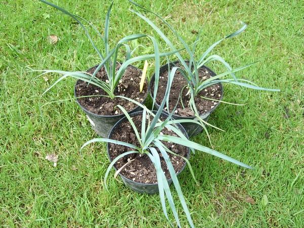 Semis de yucca Yucca_11