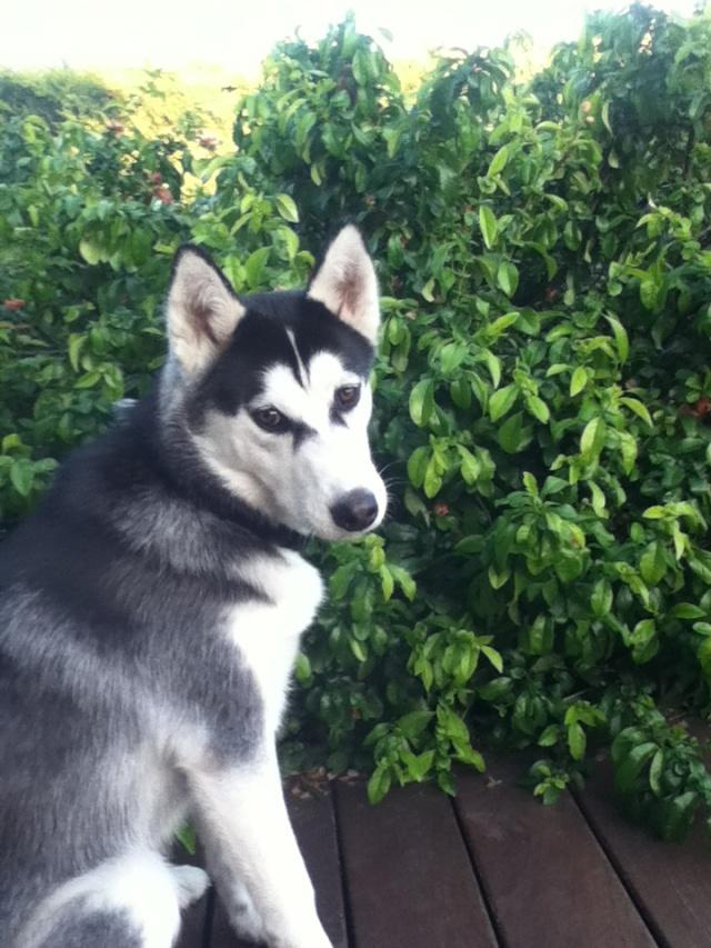 Buddy- husky 13 mois - un amour de chien ( 33 ) Budy2110