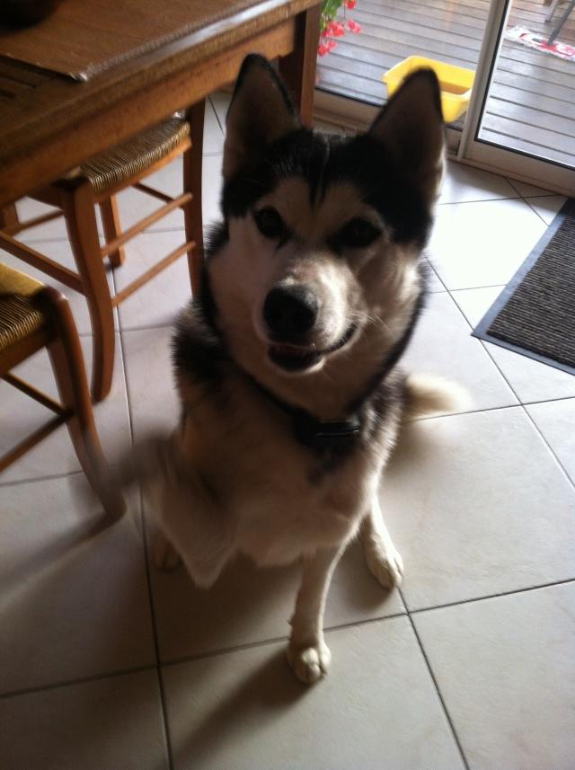 Buddy- husky 13 mois - un amour de chien ( 33 ) Budy4110