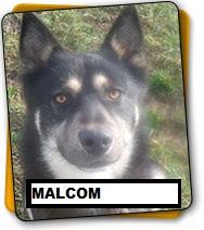 Malcom x husky )3 ans et 2 mois : pas de chats REFU24 ADOPTé Malcol10