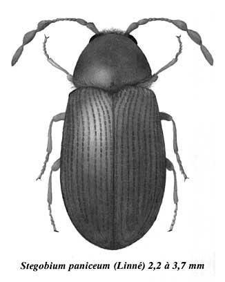 Stegobium paniceum . (insecte, vrillette, farine) Stegob10