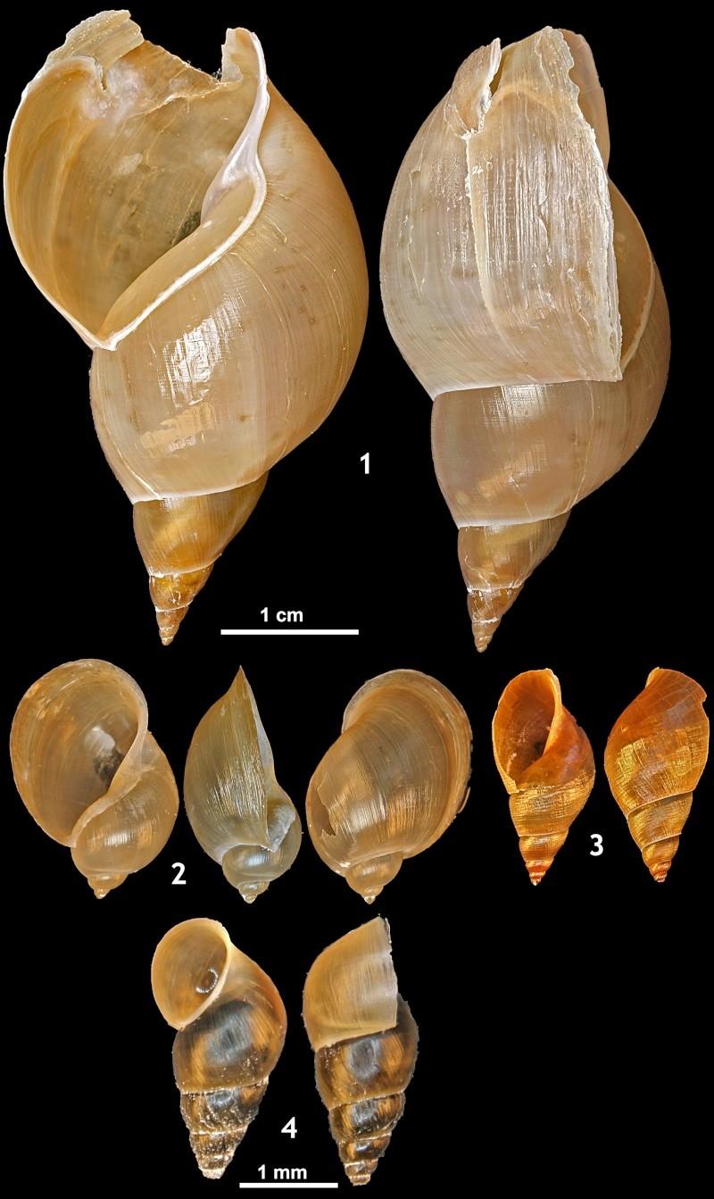 photos mollusques dulcicoles Mesos10