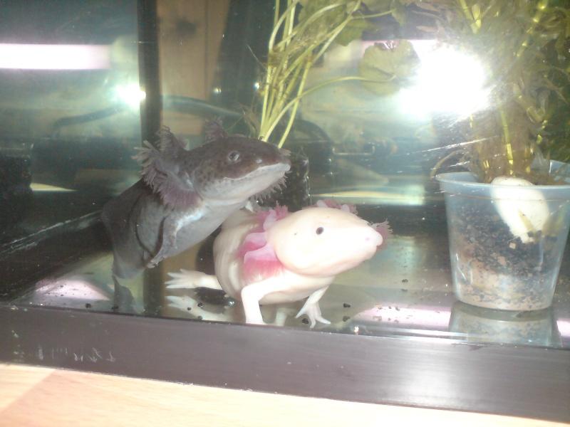 l'axolotl encore ;) Dsc00613