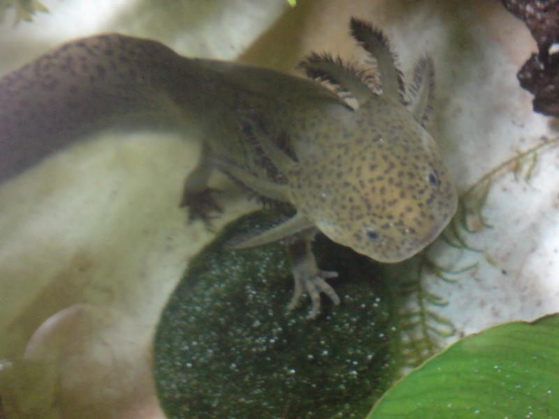 Urgent au secours je suis envahi d'axolotl Dsc00822