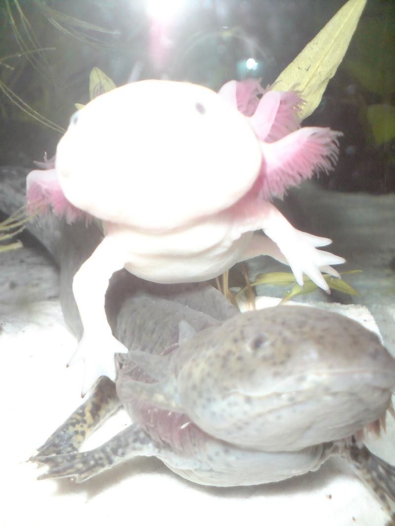 Urgent au secours je suis envahi d'axolotl Dsc00825