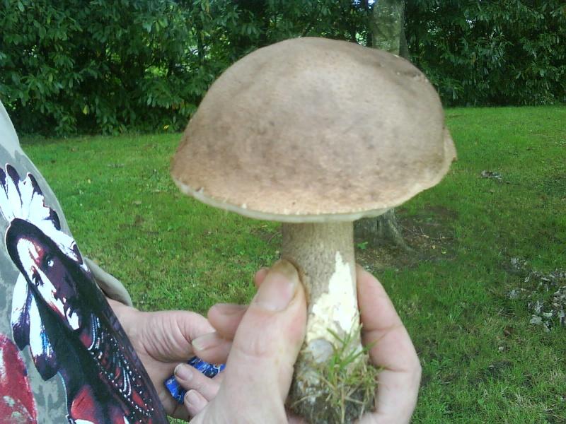 comment s'appelle e champignon [Leccinum scabrum/Bolet rude] Dsc00010