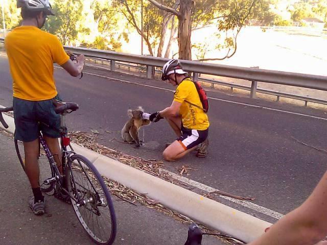 Koala Image157